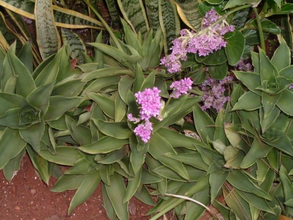 Callisia warszewicziana
