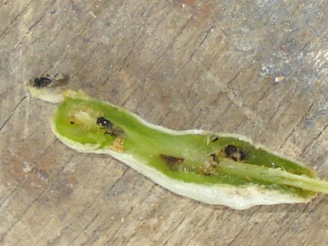 Calorileya nigra