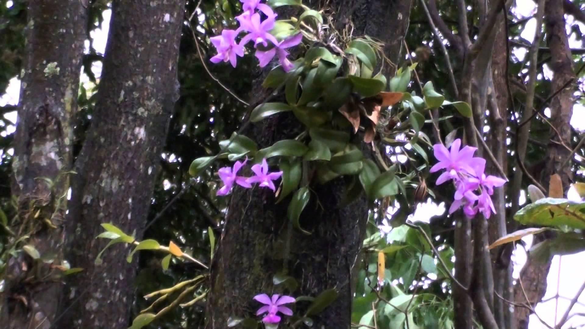Calttleya walqueriana