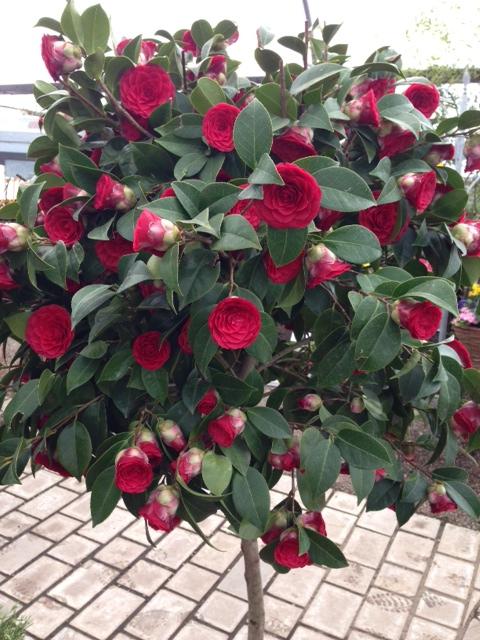 Camellia-japonica-