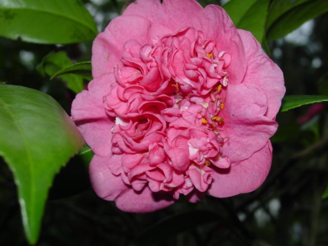 Camellia_japonica-anemone