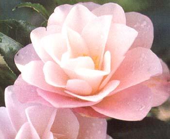 Camellia_japonica