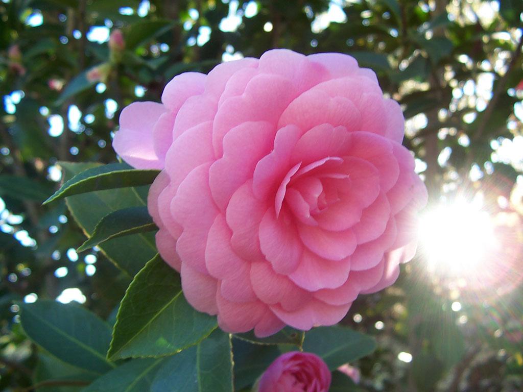 Camellia_japonica_Pink