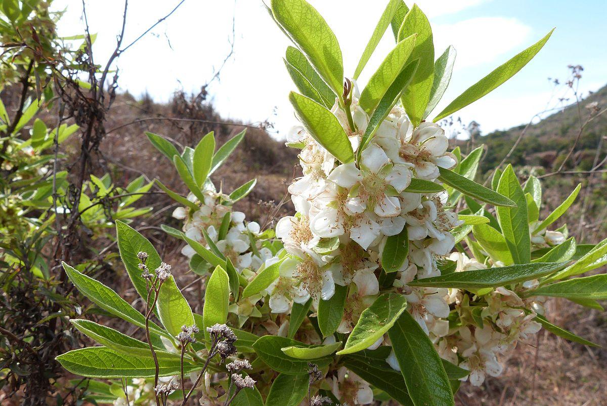 Campomanesia_pubescens
