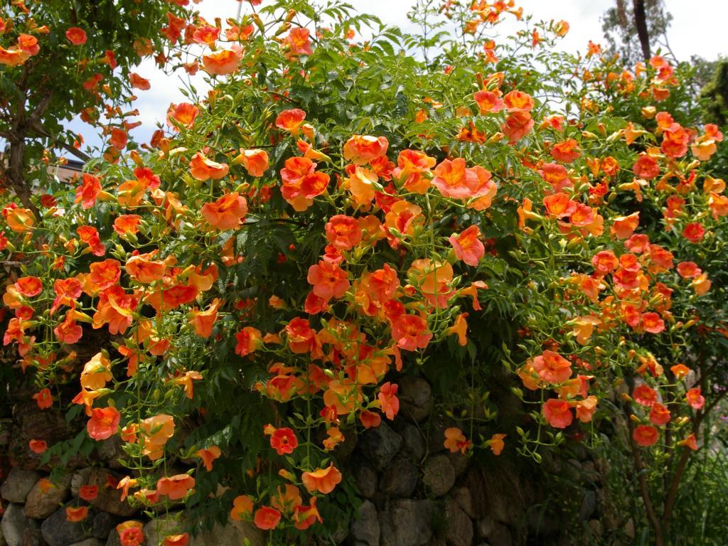 Campsis-Grandiflora-4