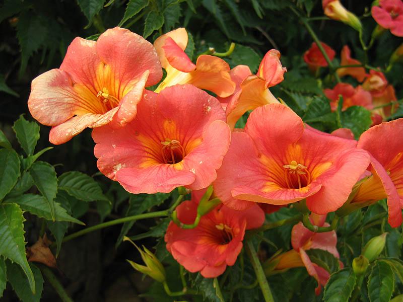 CampsisGrandiflora