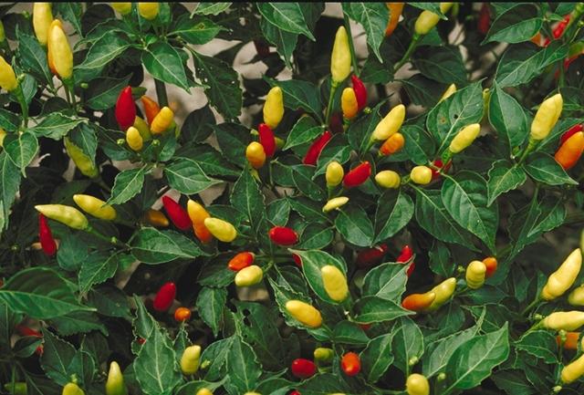 Capsicum-frutescens