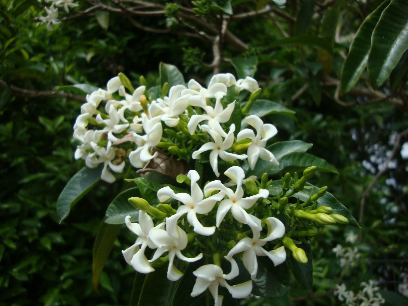 (Tabernaemontana catharinensis)