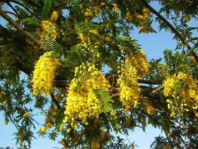 Cassia-ferruginea