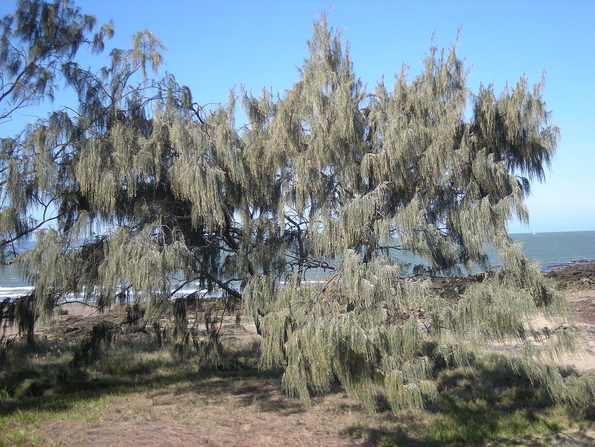 Casuarina - Casuarina_equesitifolia