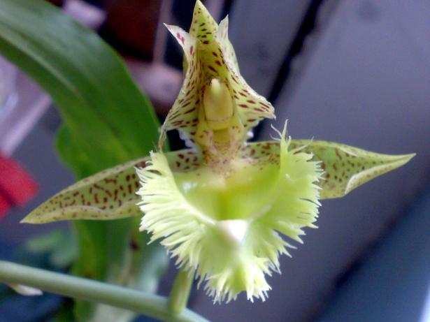 Catasetum fimbriatum2