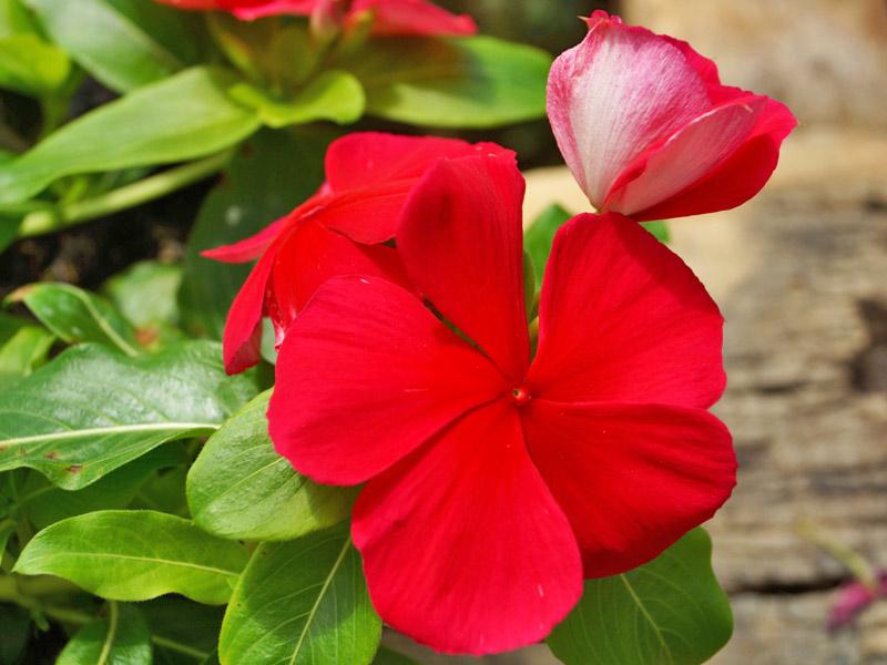 Catharanthus-roseus-08