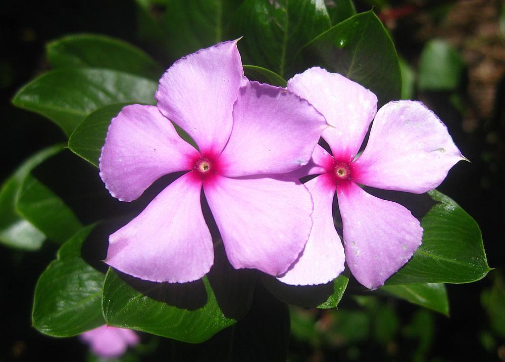 Catharanthus-roseus-4