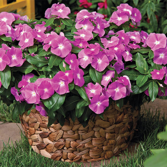 (Catharanthus roseus)