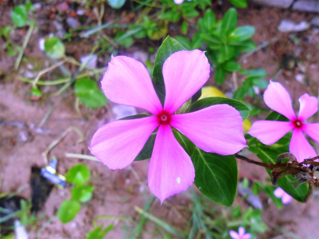 Catharanthus_roseus_()