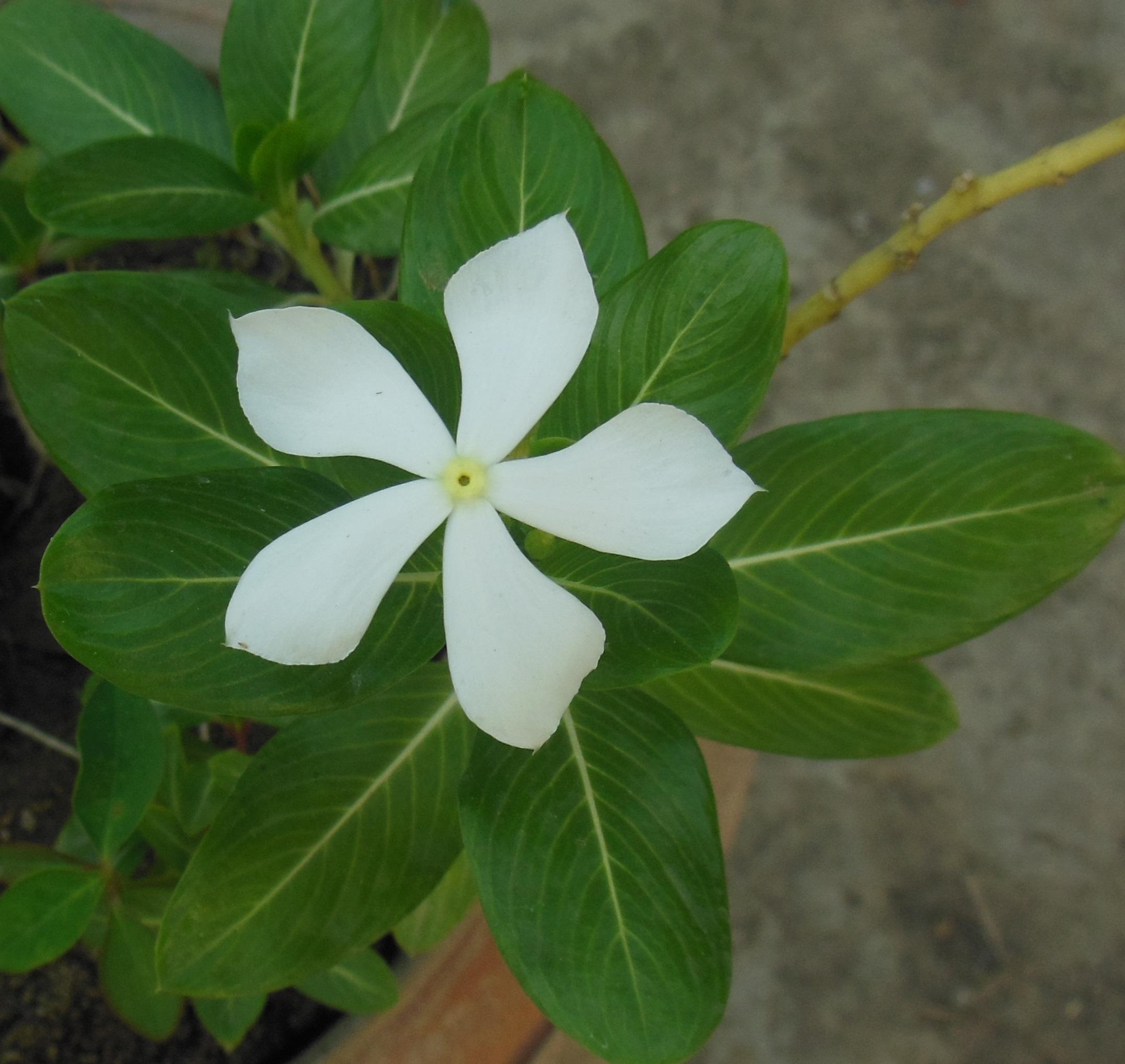 Catharanthus_roseus_branca