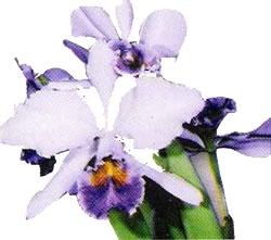 Cattleya Gaskeliana var. caerulea