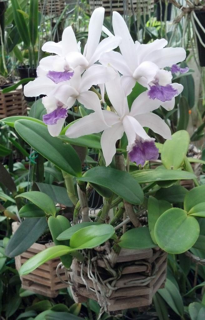 Cattleya Intermedia Coeruela