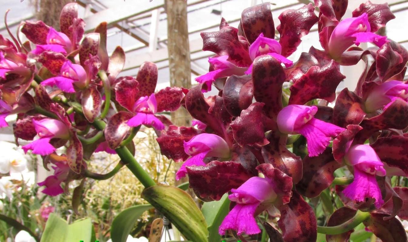 Cattleya Leopoldii (Tigrina) 2