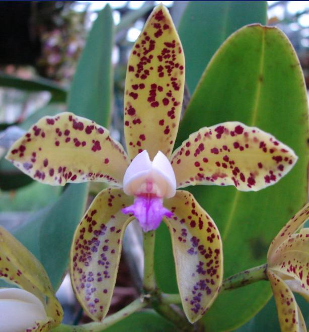 Cattleya gutata