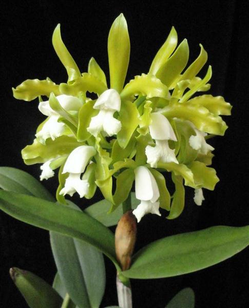 Cattleya guttata alba