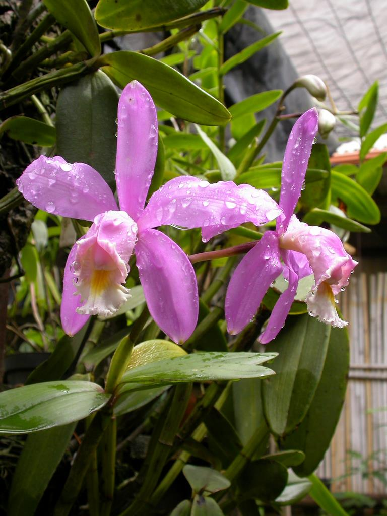 Cattleya-harrisoniana