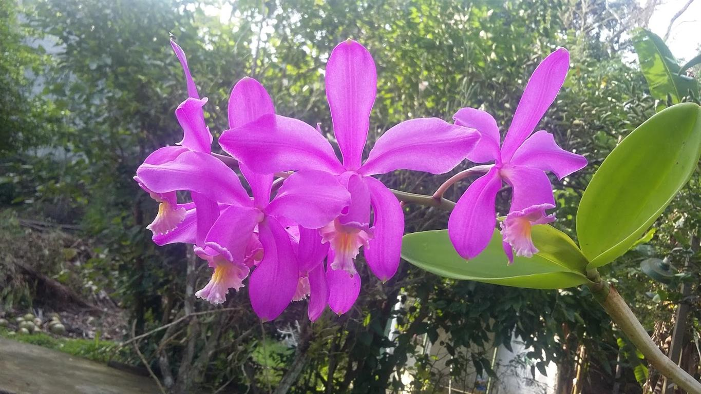 Cattleya-harrisoniana