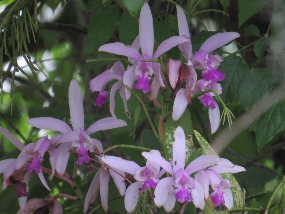 Cattleya intermédia