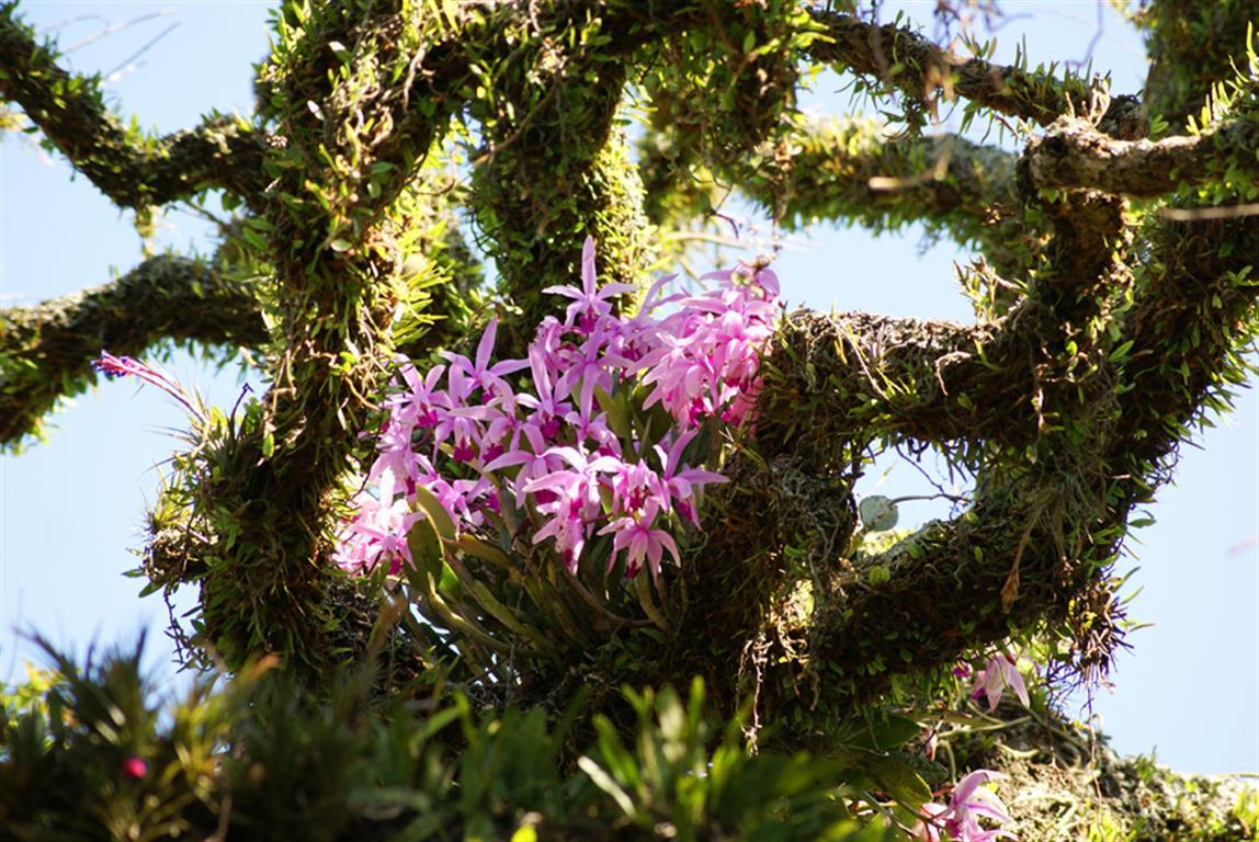 Cattleya-intermedia-