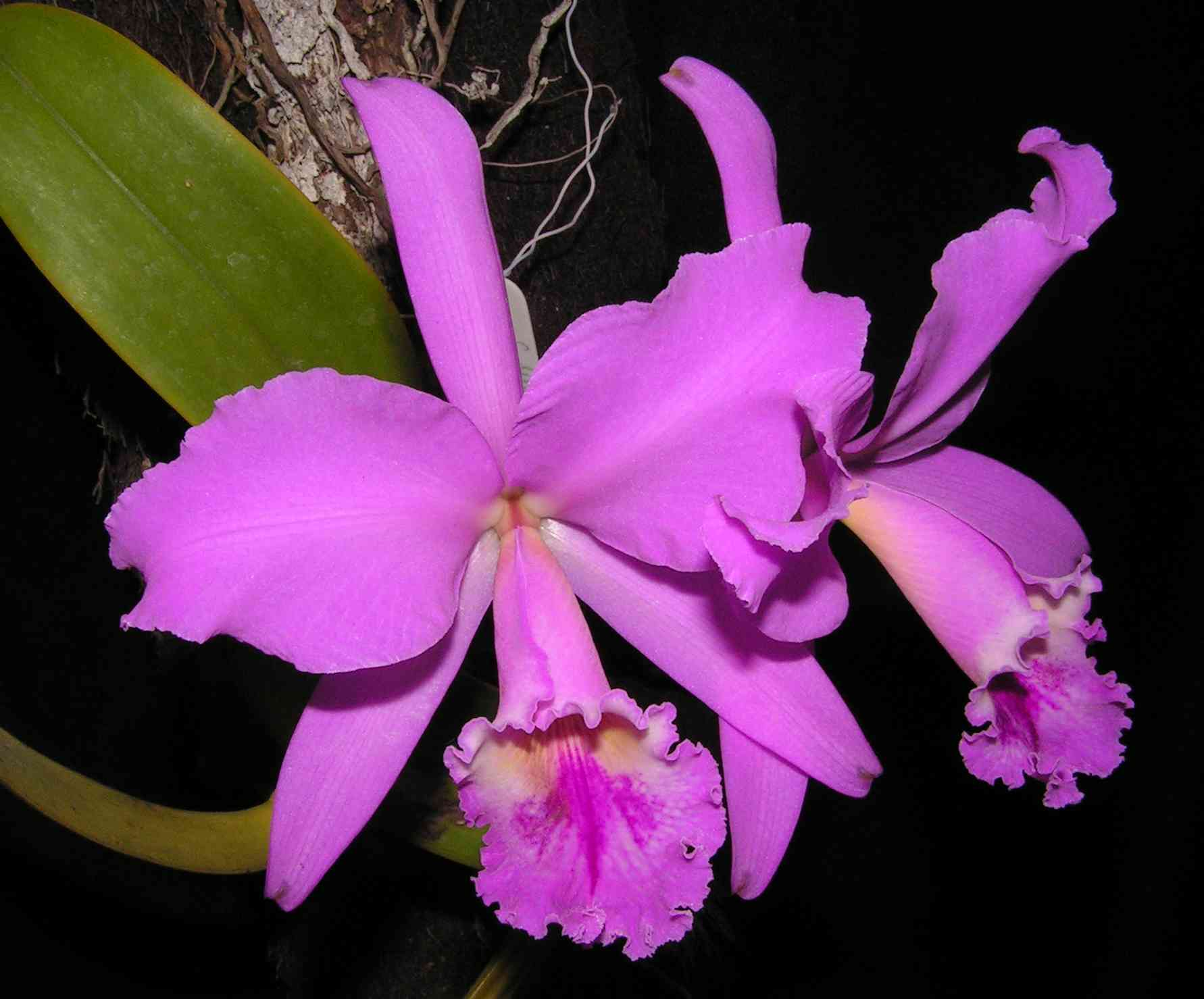 Cattleya labiata Lindley