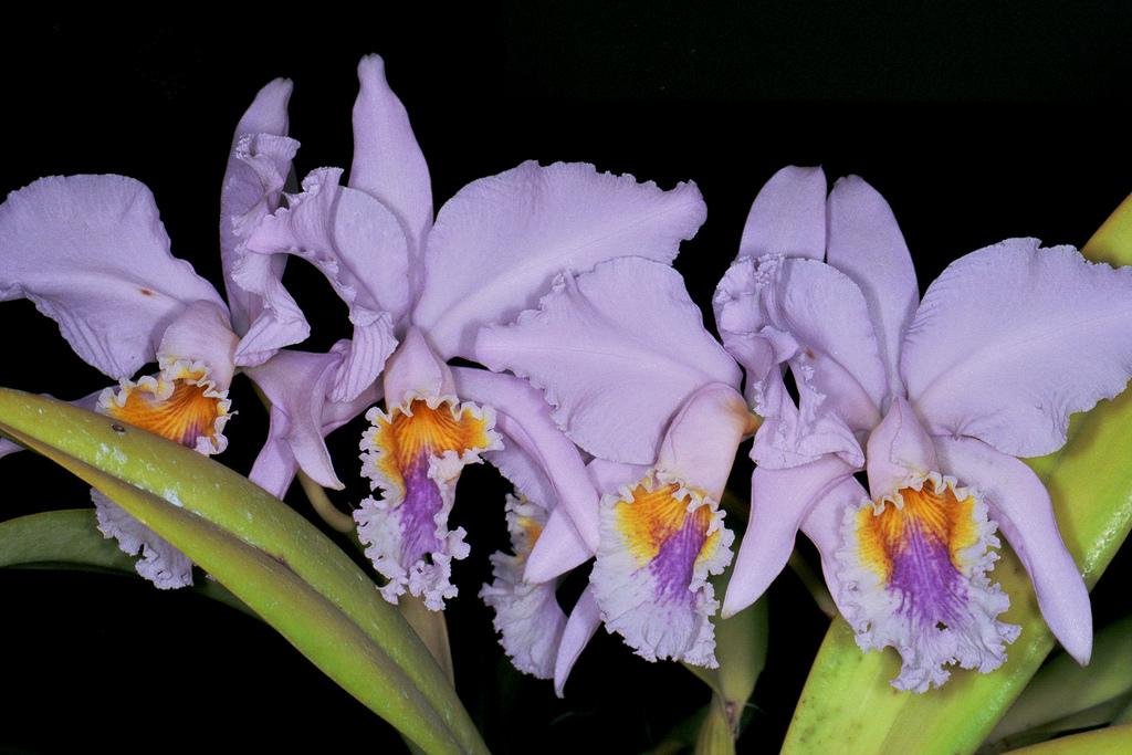 Cattleya mossiae v. coerulea