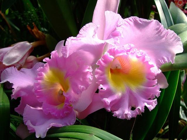 Cattleya spp-11