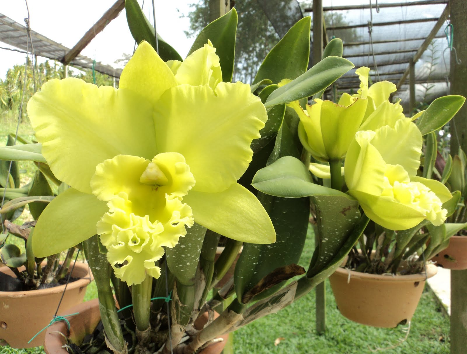 Cattleya spp