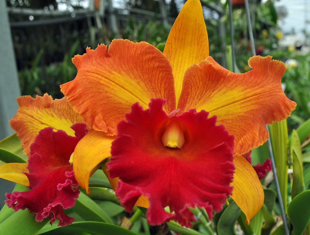 Cattleya spp_vbx