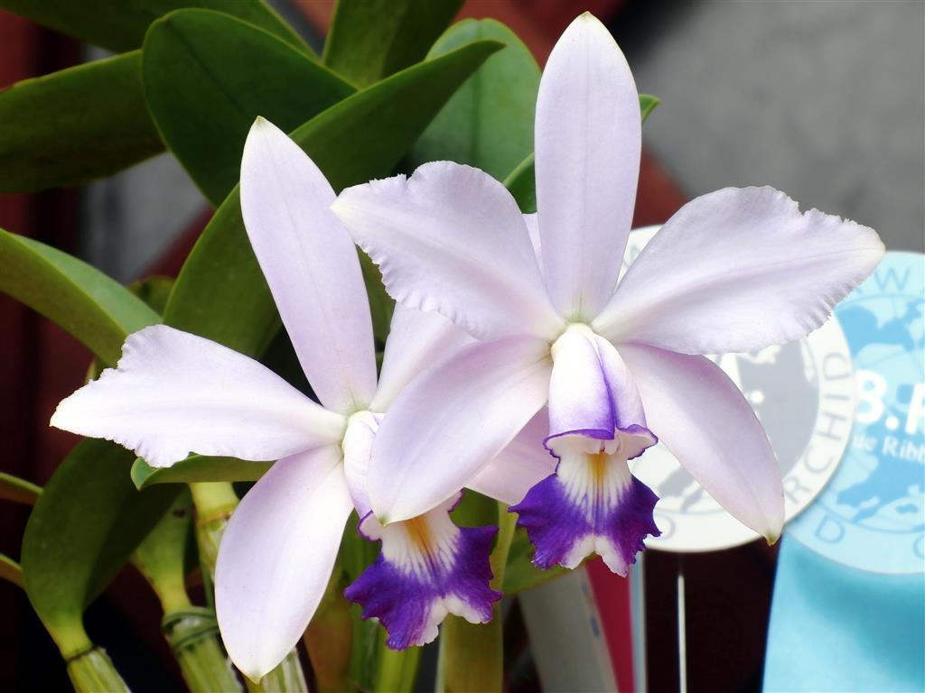 Cattleya violacea forma coerulea