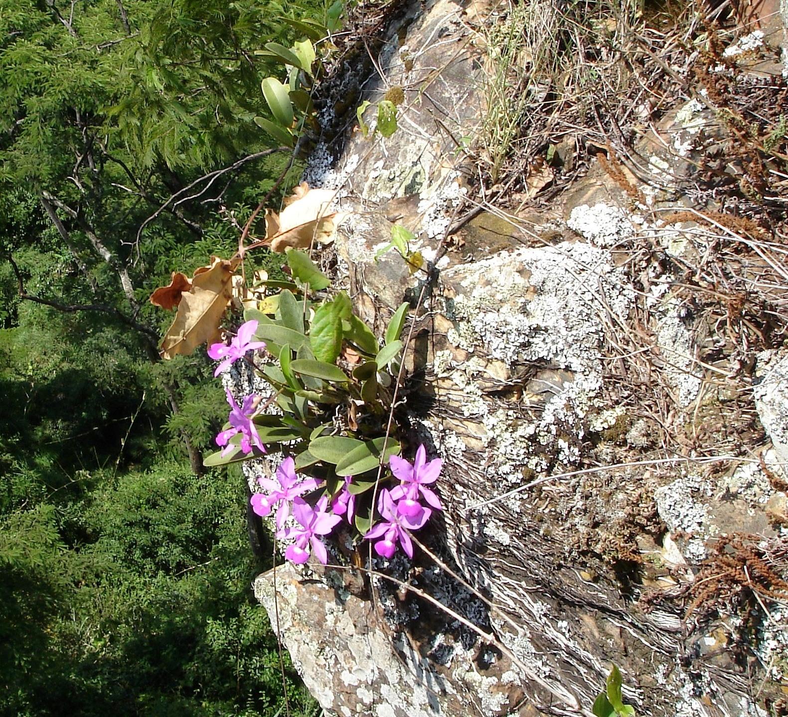 Cattleya walkeriana no habitat (rupicola)