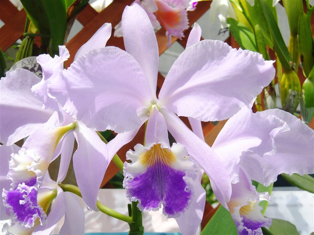 Cattleya warneri forma coerulea