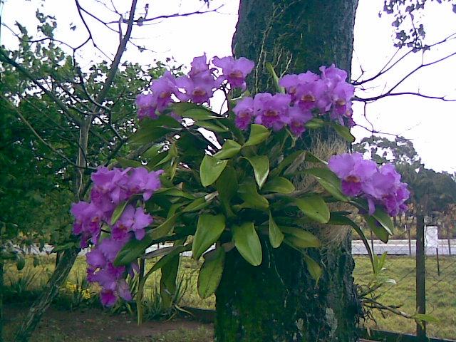 Orquídea Cattleya Plantasonya O Seu Blog Sobre Cultivo