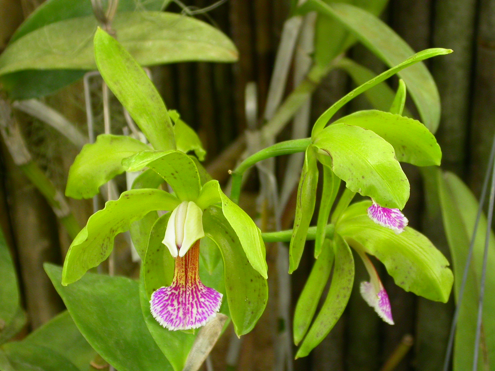 Cattleya_granulosa