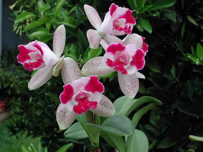Cattleyas-pink-white