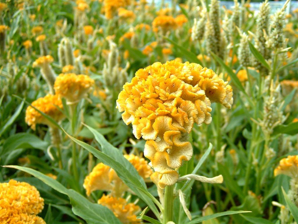 CelosiaCristata amarela