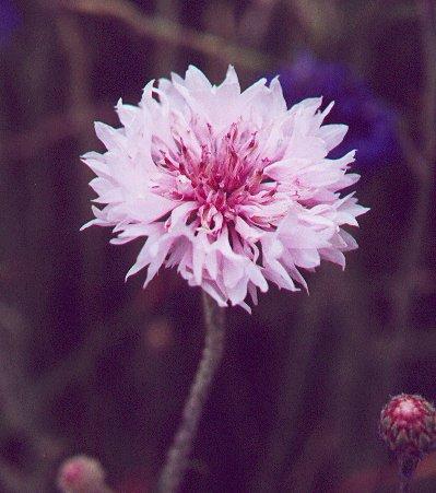Centaurea_cyanus_