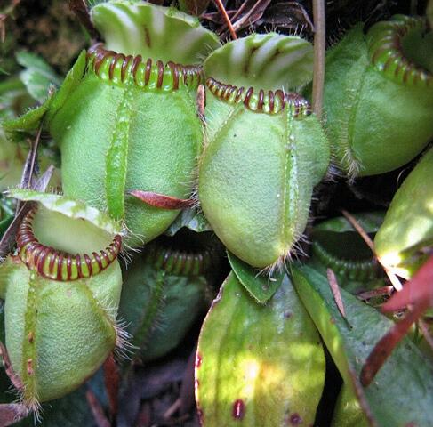 Cephalotaceae Neger