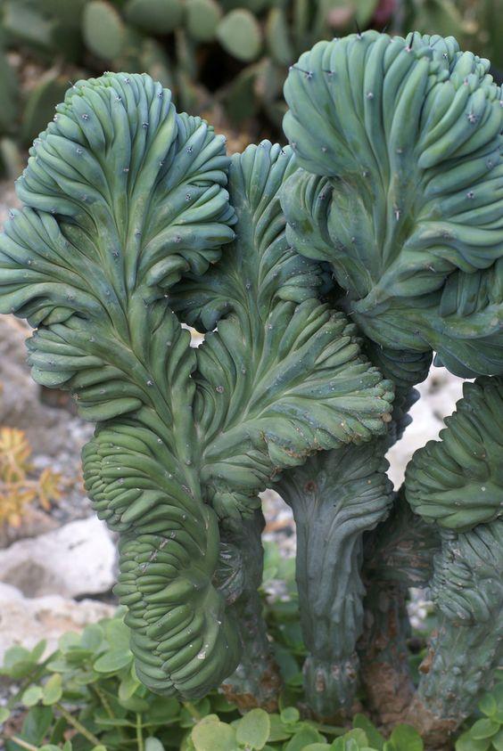 Cereus-Peruvianus-Monstrosus