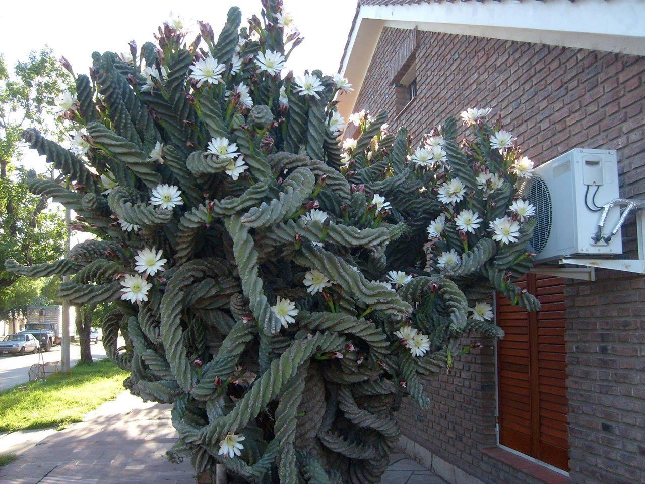 Cereus peruvianus var. tortuosus