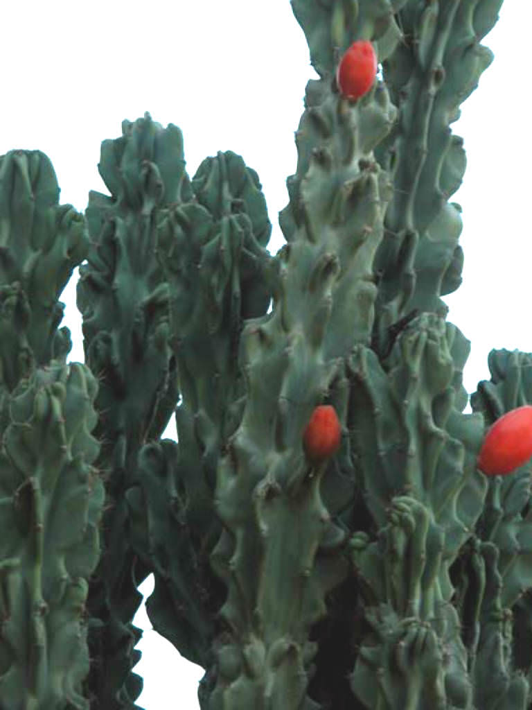 Cereus-repandus-f.-monstrosa4