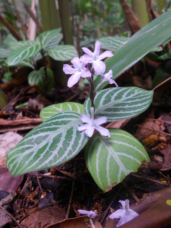 Chamaeranthemum Venosum1