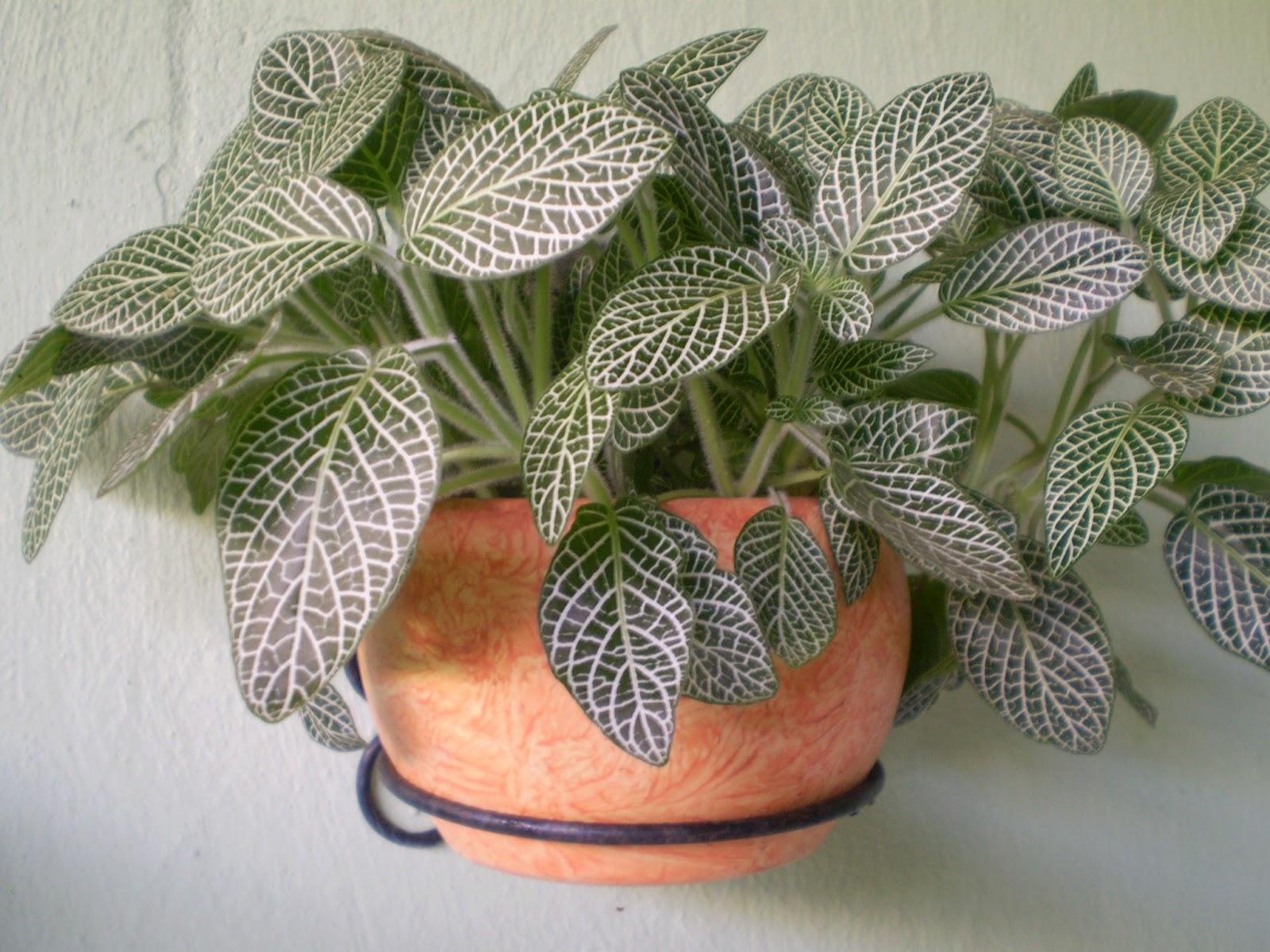 Chamaeranthemum Venosum333