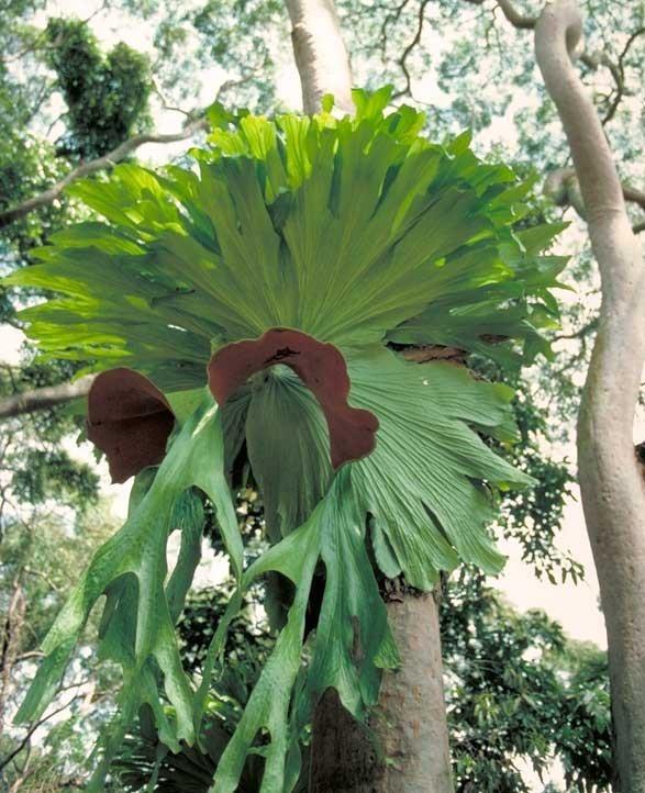 Chifre-de-veado (Platycerium)