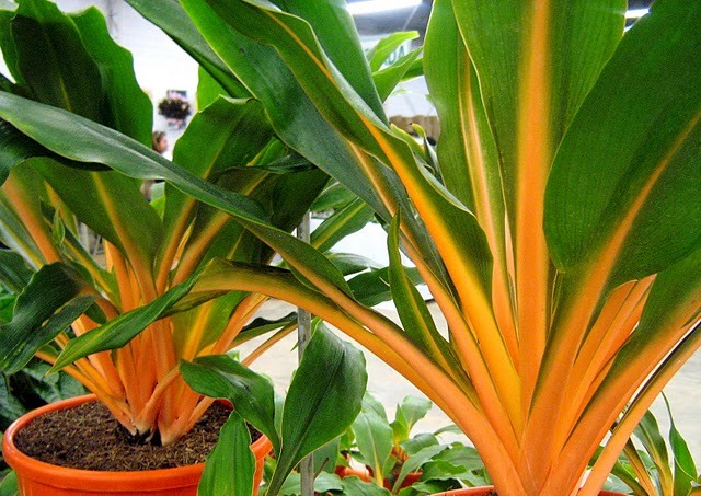 Chlorophytum Orchidastrum.44